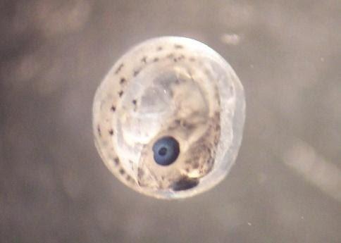 Icosteus egg close up