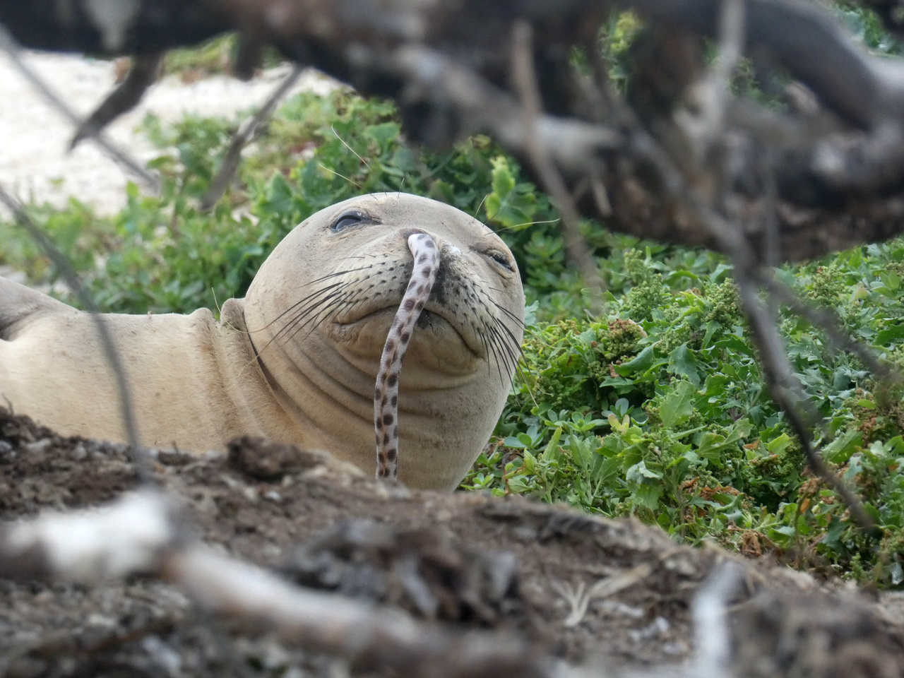 Juvenile Hawaiian monk seal with a spotted eel in its nose