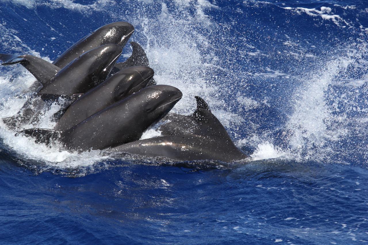 Melon-headed whales (Peponocephala electra) seen off the coast of Kauai.