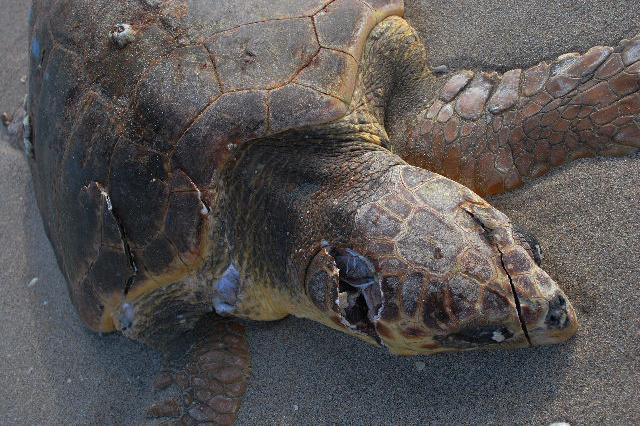 640x426-Loggerhead turtle vessel strike.jpg