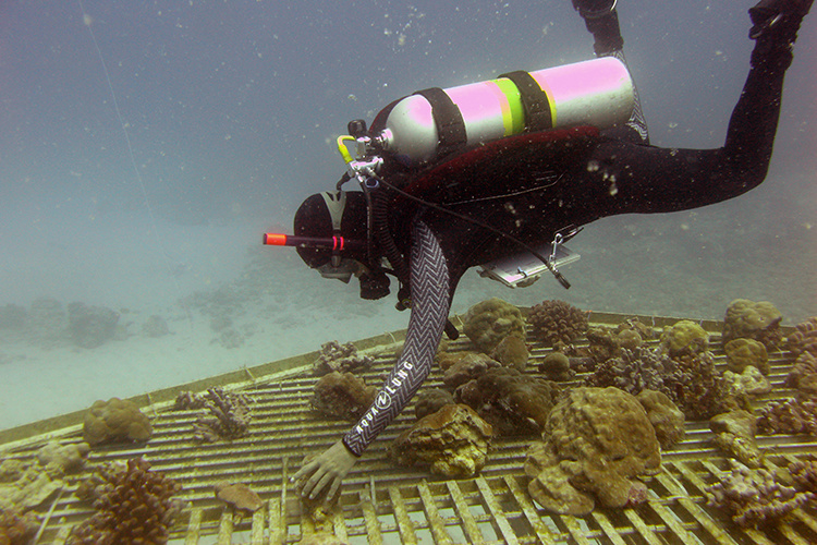 Intern collecting fragmented coral.