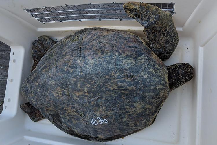 750x500-hawaiian-green-sea-turtle-1036-NOAA-PIRO.jpg