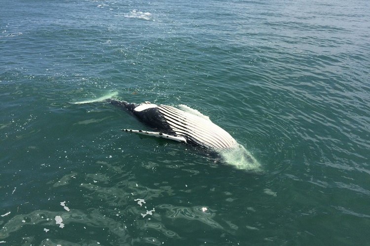 Floating humpback whale offshore of Delaware. Photo by Marine Education, Research & Rehabilitation Institute.