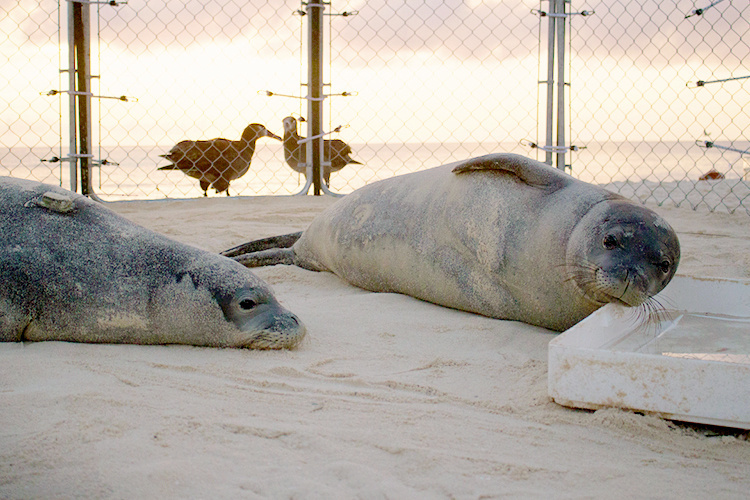 750x500-juvenile-monk-seals-shoreline-pen-nwhi-NOAA-PIFSC.jpg