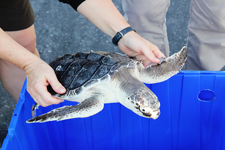 Kemp's Ridley sea turtle rehabilitated and ready to be released to the wild.
