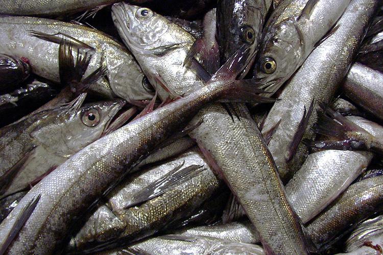 Close up of Pacific hake fish