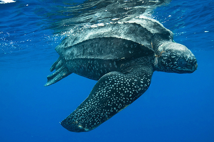 Leatherback sea turtle swimming at ocean surface.