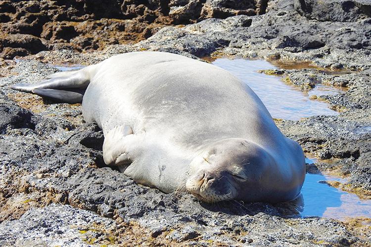 Hawaiian monk seal resting.