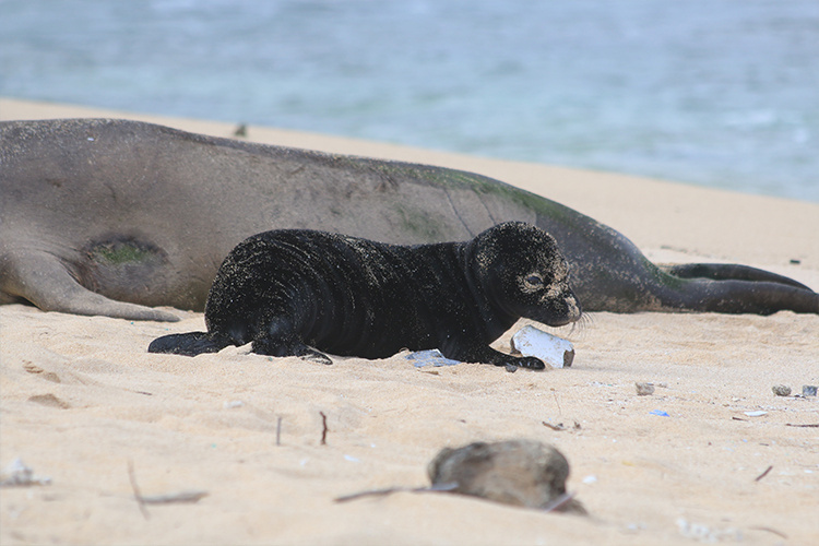 Mom Hawaiian monk seal next to her pup on the beach.