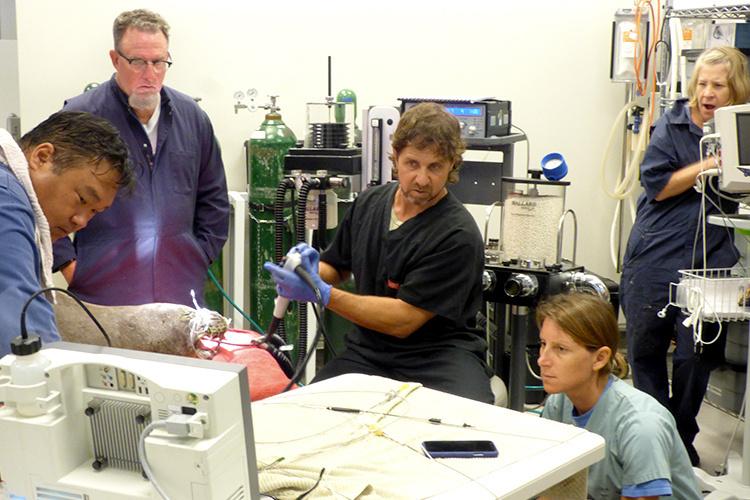 NOAA Fisheries veterinarians endoscopy on monk seal RW02.