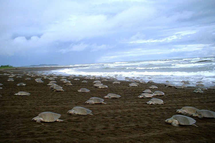 "Olive ridley sea turtles nesting en masse during an ""arribada"" in Costa Rica."