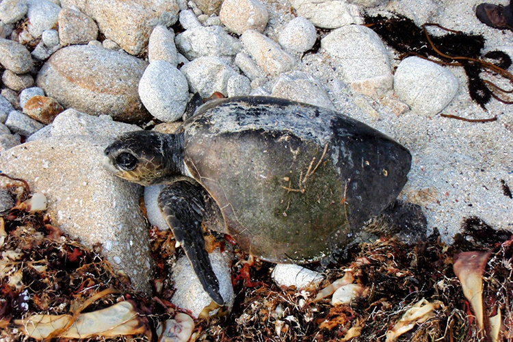Stranded male olive ridley sea turtle found in 2011.