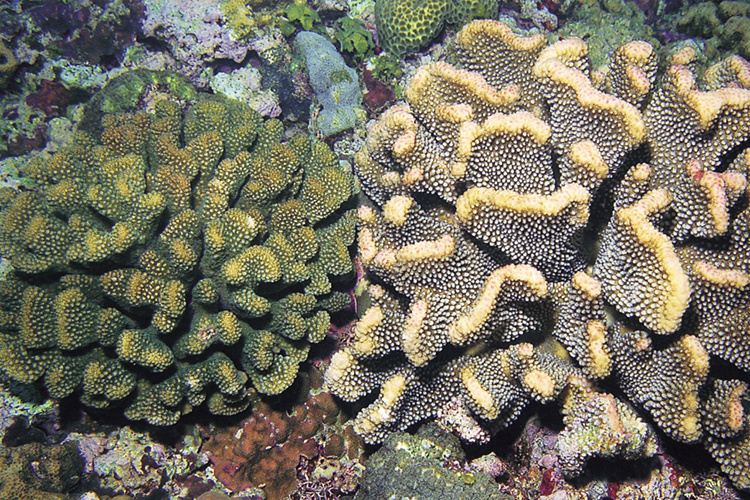 Two different corals side-by-side in Philippines waters.