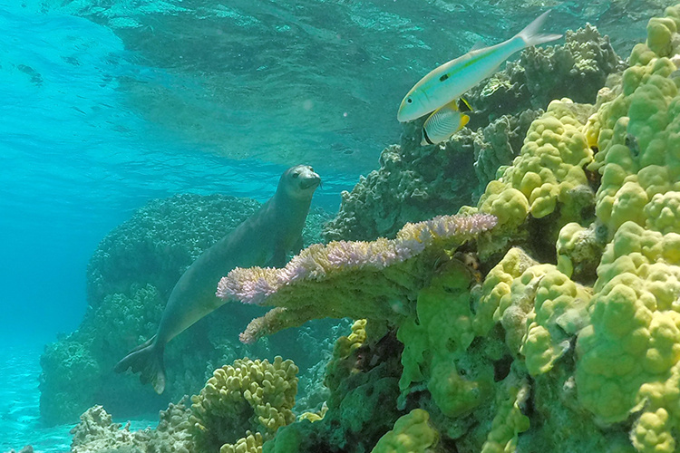 Hawaiian monk seal exploring coral reefs.