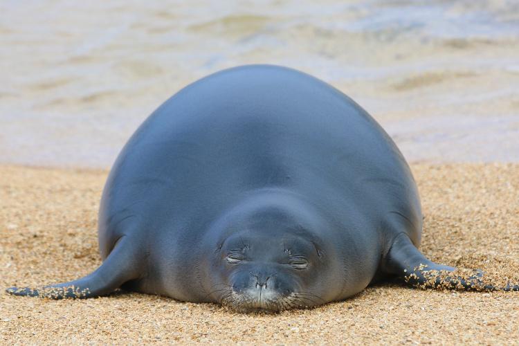 Hawaiian monk seal newly weaned sleeping on the beach.