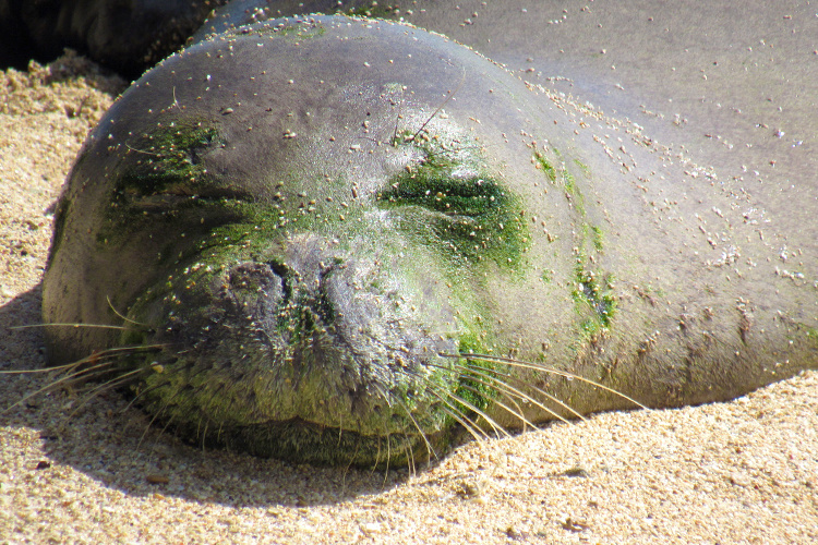 Monk seal sleeping and molting.