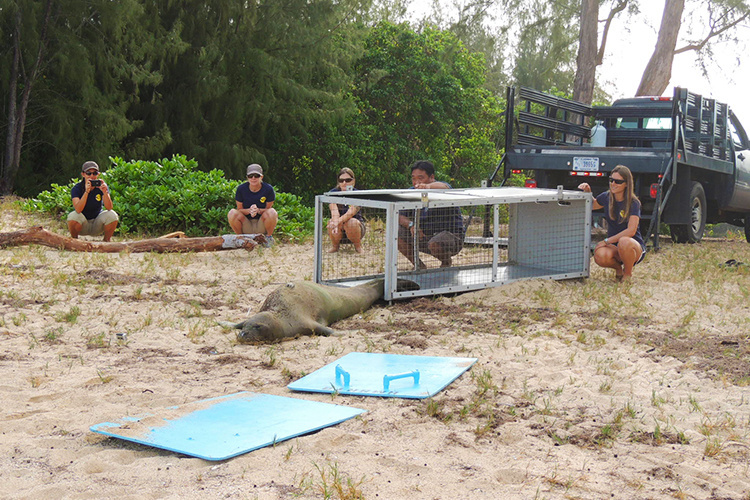 Hawaiian monk seal undergoing anesthesia for surgery.