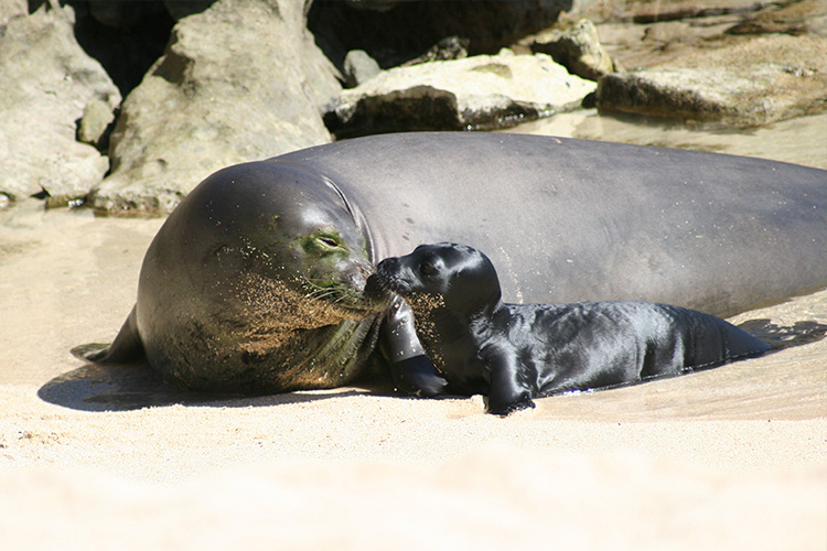 Hawaiian monk seal mom and pup on the beach.