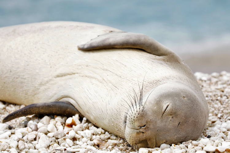 Close-up photo of monk seal RK88 sleeping.