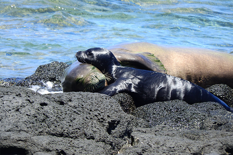 Hawaiian monk seal mom and pup hugging each other again the rocks in the water.