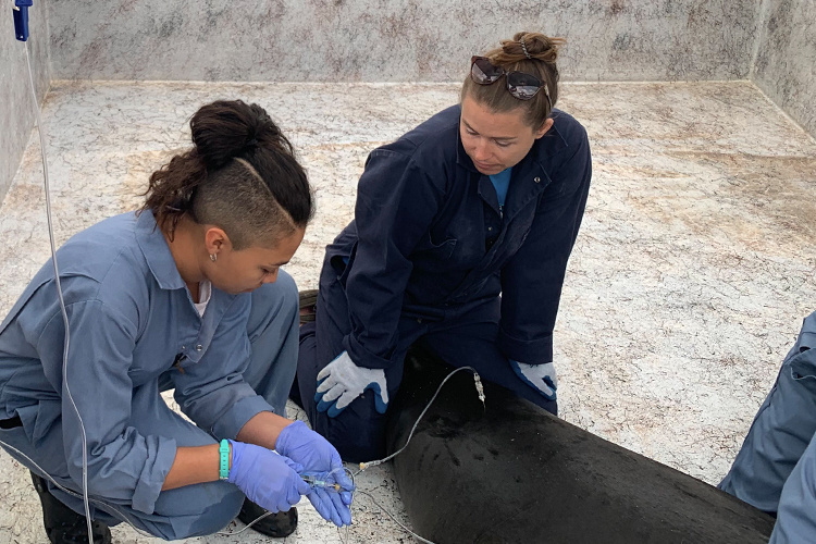 Monk seal receiving treatment.