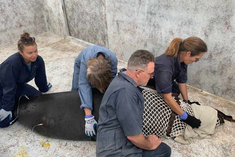 Monk seal receiving treatment by animal team.
