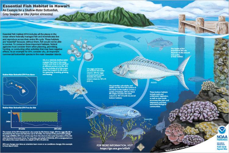 750x500-scientific-illustration-efh-hawaii-NOAA-PIRO.jpg