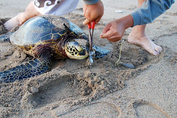Fishermen cutting fishing line from sea turtle's mouth with pliers.