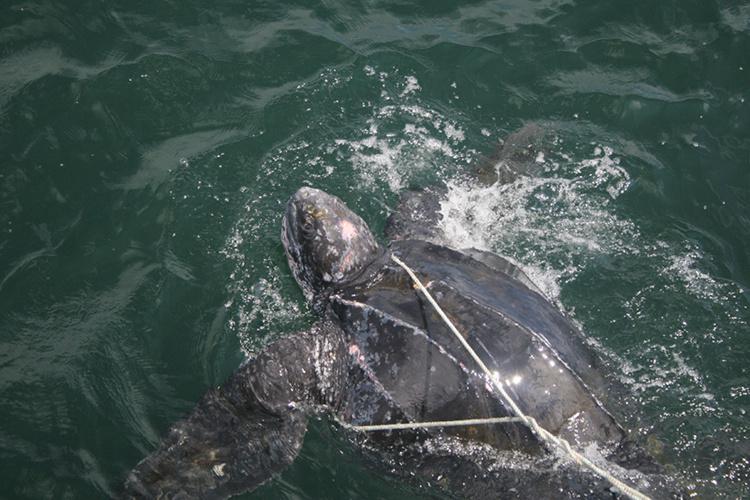 750x500-Sea Turtle Entanglement.jpg