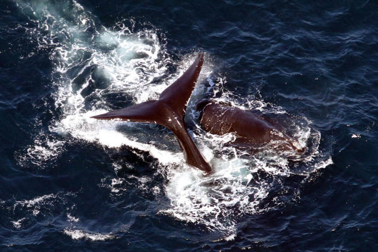 Right whale (Eubalaena glacialis) Arpeggio, also known as egno 2753, was born in 1997 (her mother is egno 1153).