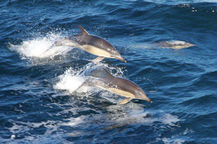 common dolphins on Georges Bank by chris melrose