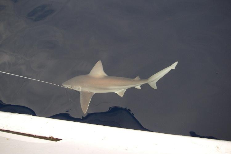 750x500_sandbar_shark_PCLab.JPG