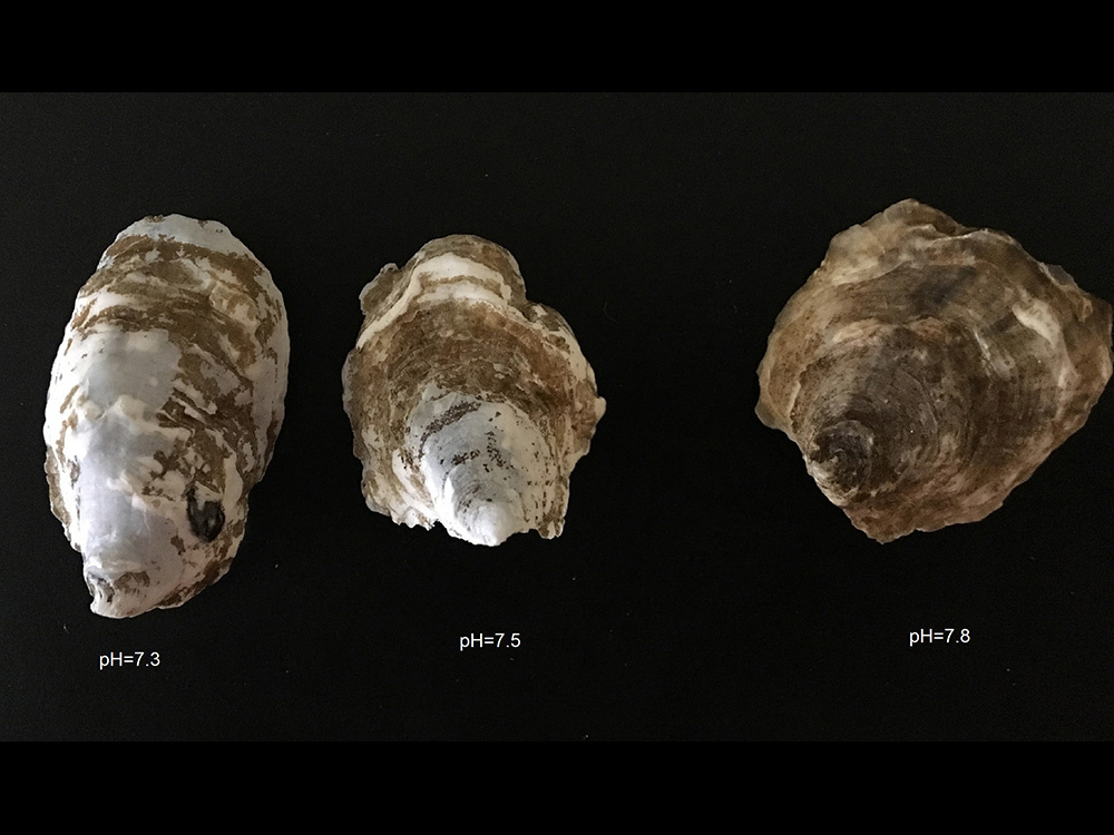 Oyster shell observed during acidification experiment. Lowest pH treatment has lighter weight shells and translucent areas.