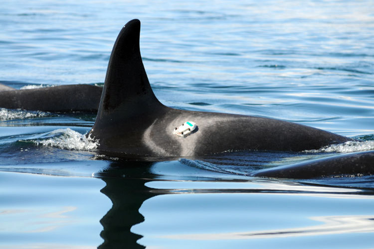 Digital acoustic recording tags temporarily attached to killer whale