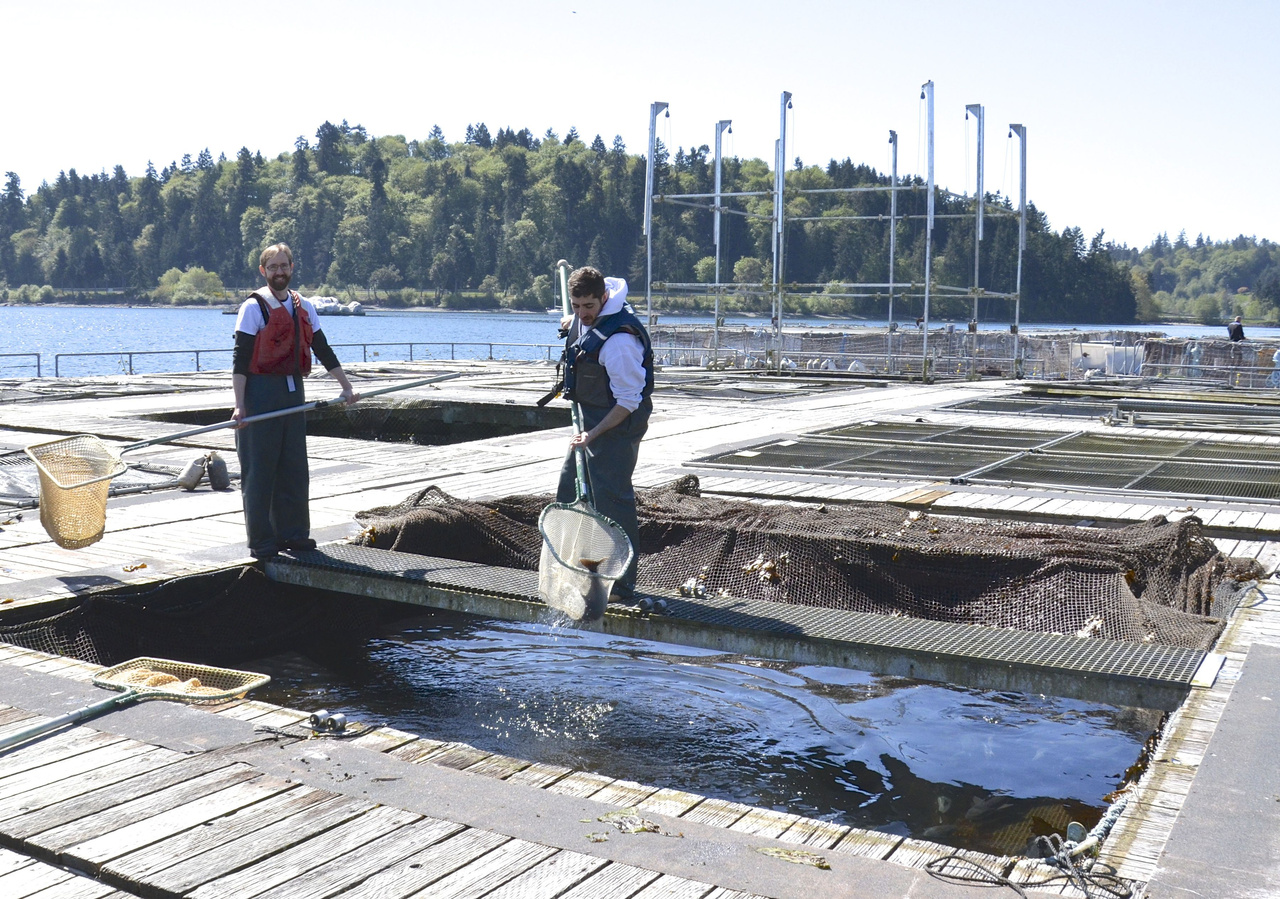 Collecting fish from net pens at Manchester Research Station.jpg