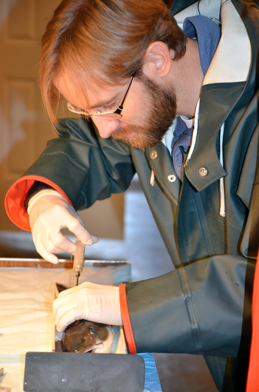 Scientist tagging juvenile sablefish
