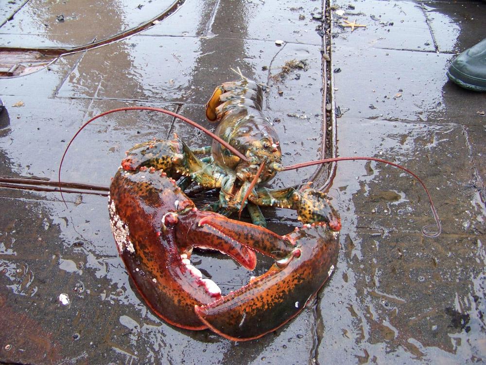 big lobster lying on deck