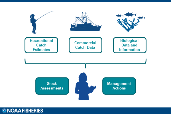 A diagram demonstrating how recreational catch estimates, commercial catch estimates, and biological data and information play a role in stock assessments and management actions.
