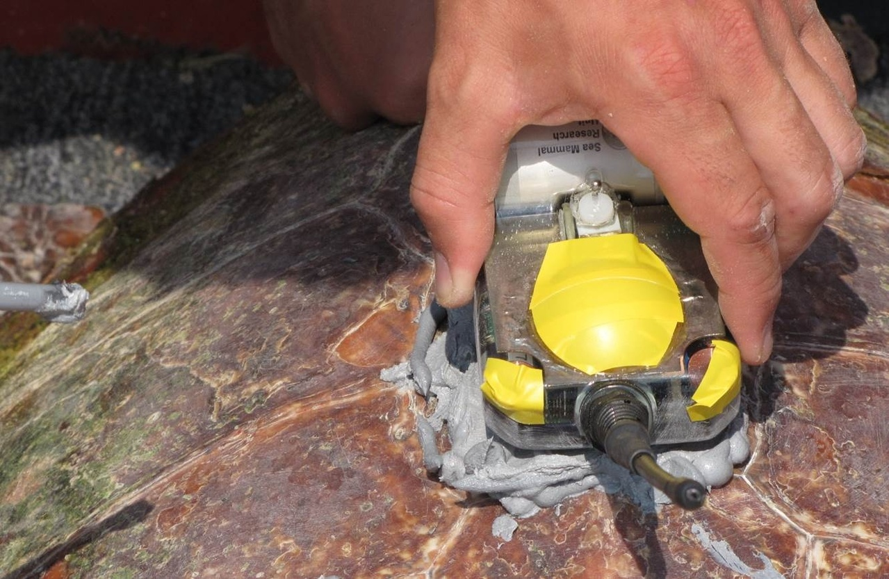 applying a satellite tag to loggerhead turtle