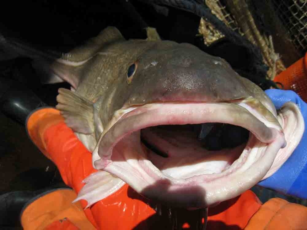 Cod with its mouth open.