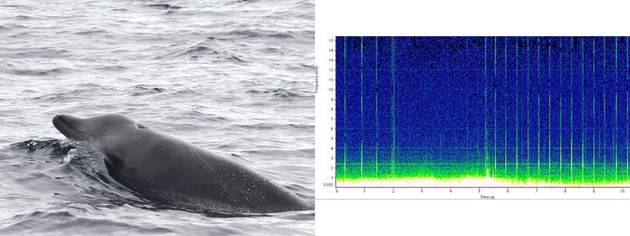 beaked whale photo and sound chart
