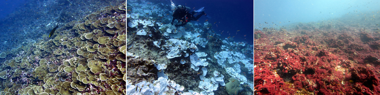 Coral cover at Jarvis Island before, during, and after the bleaching event