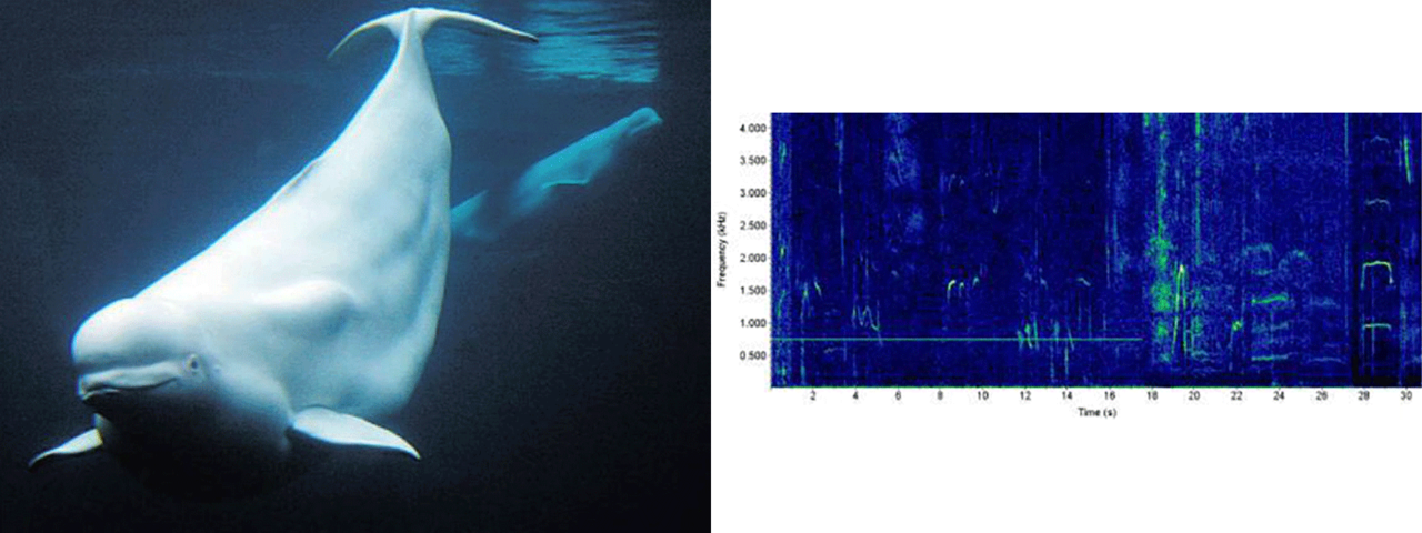 beluga whale photo and sound chart