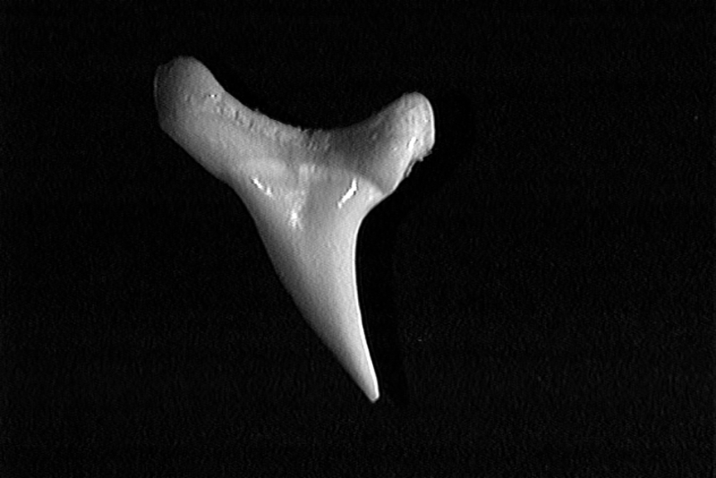 Single bigeye thresher shark tooth showing its smooth, slender, and slightly curved shape.