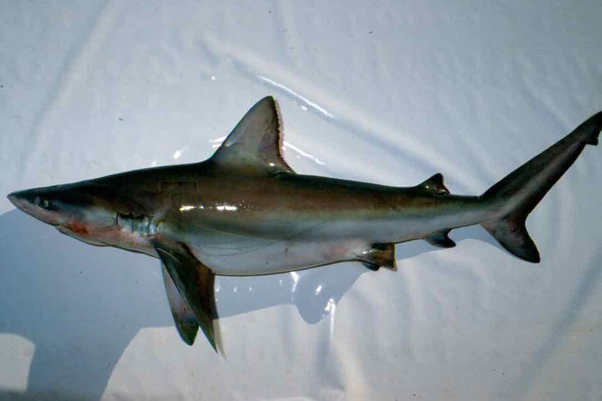 Bignose shark shown from the side where its triangular dorsal fin can be seen starting right where the pectoral fin ends its attachment to the body