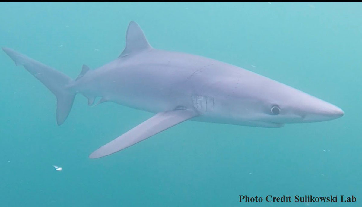Blue shark swimming through the water with a clear view of one of its long pectoral fins