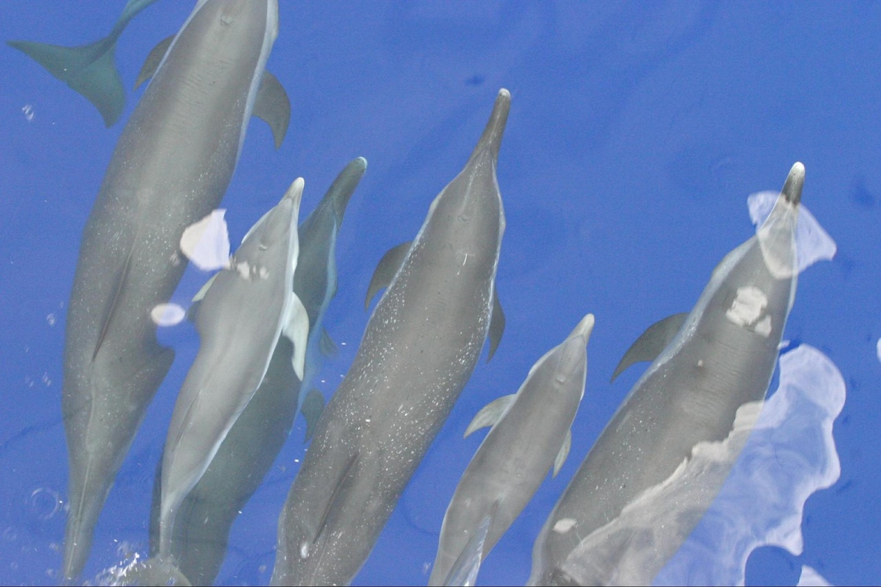 Bowriding spotted dolphins. Photo: NOAA Fisheries/Shannon Rankin