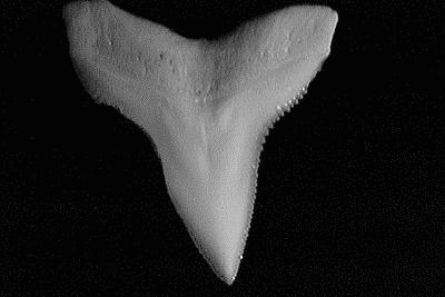 Single bull shark tooth showing its heavily serrated, broad triangular shape.