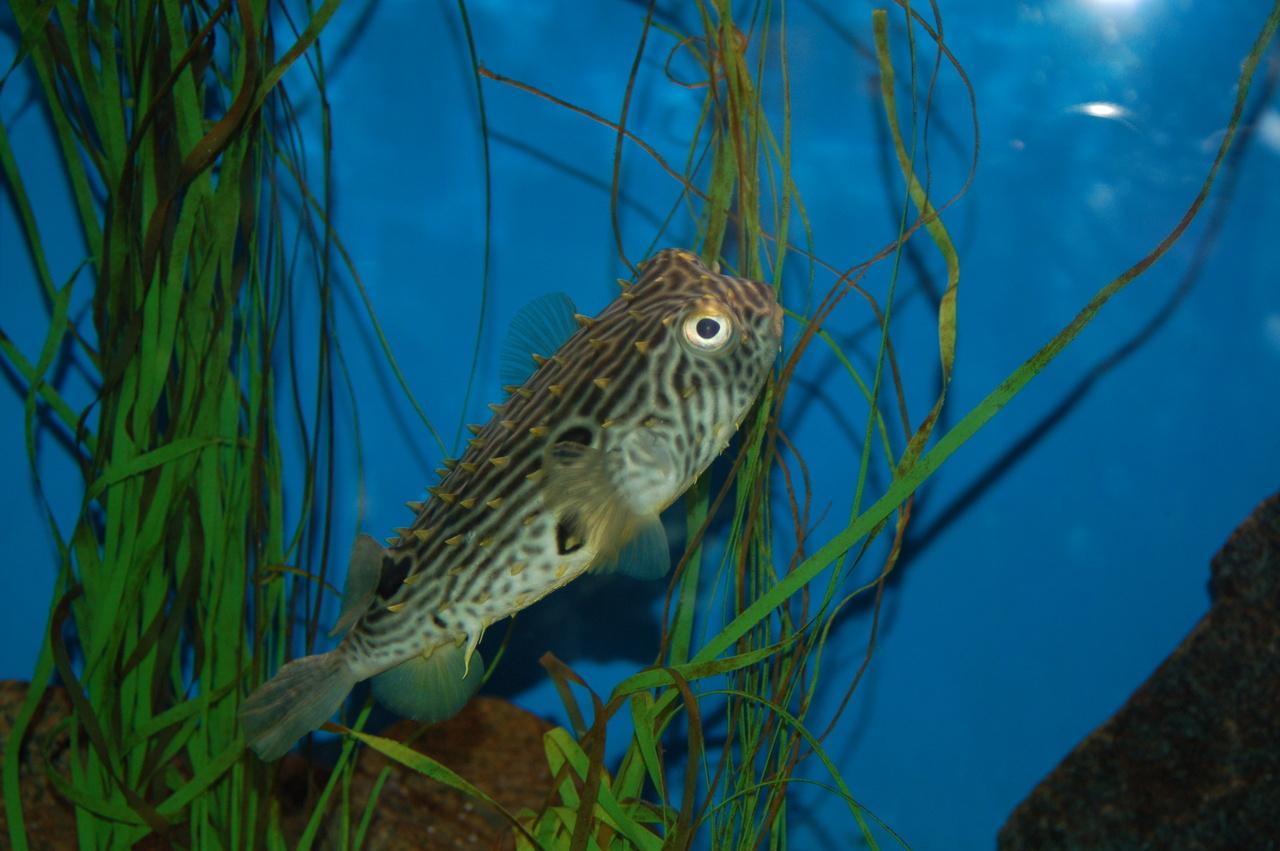 burrfish in aquarium tank