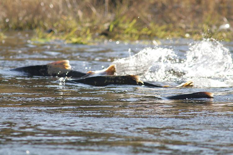 Chinook salmon swim in a river